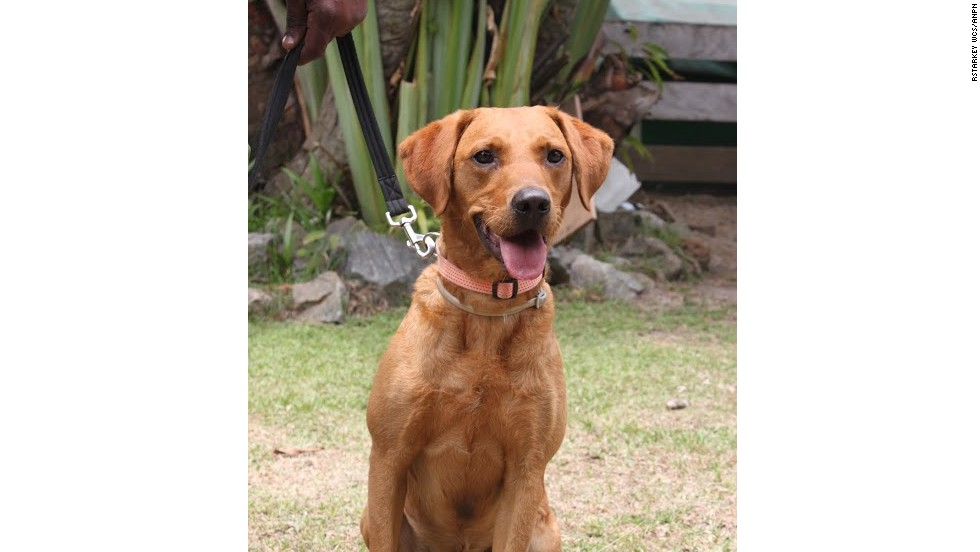 "Calmer than Lumi, Cooper is an intelligent red-colored labrador. Together, the two dogs form a ""perfect team."""