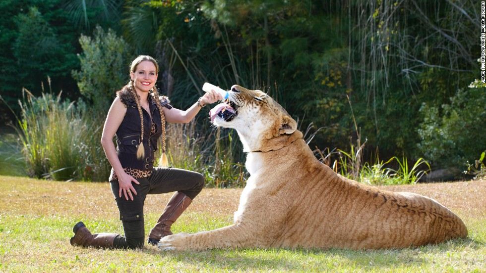 The largest living cat is Hercules, an adult male liger, lion and tigress hybrid, currently housed at Myrtle Beach Safari, a wildlife reserve in South Carolina. In total length, he measures 131 inches (3.33 meters), stands 49 inches (1.25 meters) at the shoulder, and weighs 922 pounds (418.2 kilograms).