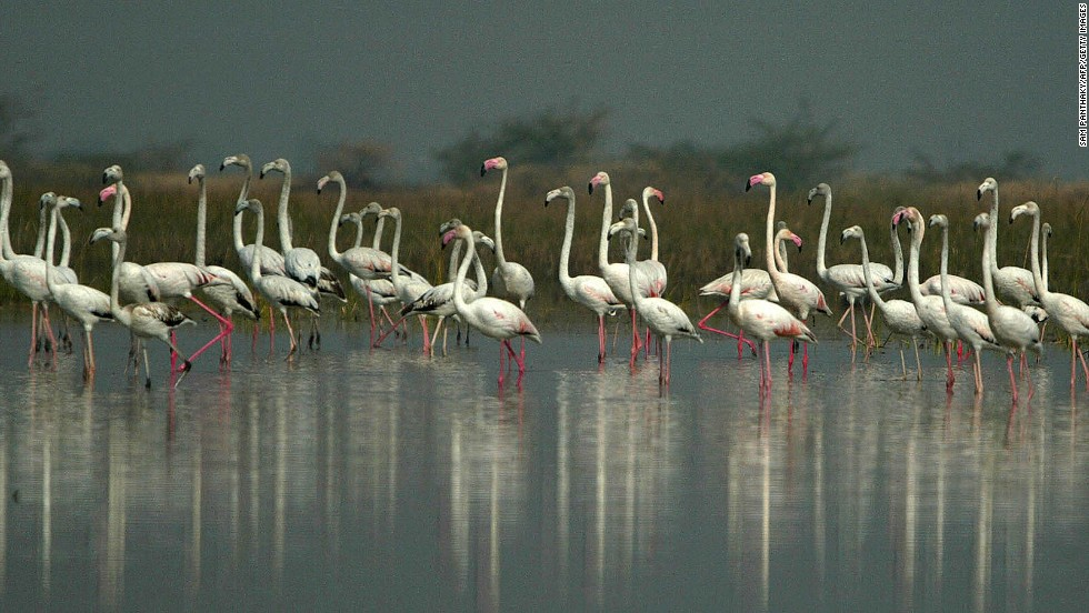 Migratory birds, greater flamingos rest at the Nal Sarovar Bird Sanctuary near  Ahmadabad. Mainly inhabited by migratory birds in winter and spring, it is the largest wetland bird sanctuary in Gujarat, and one of the largest in India.
