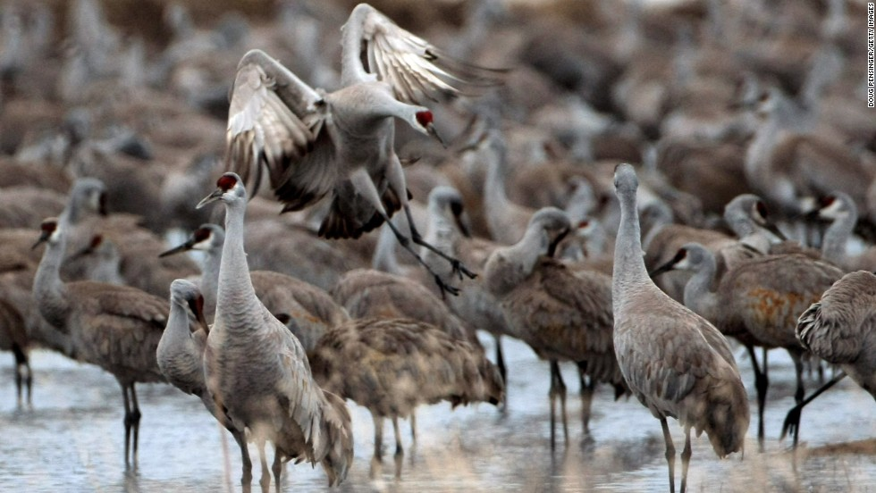 Greater sandhill cranes migrate to the San Luis Valley in Colorado late winter every year. More than 25,000 cranes stop to rest and feed as they travel from their wintering grounds of Mexico, Arizona and New Mexico to their summer homes in the northern Rocky Mountains.