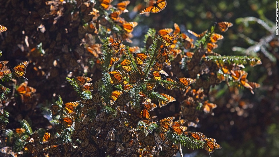 Thousands of monarch butterflies descend into Pacific Grove, California from October, and stay throughout the winter months. Around Valentine's Day, the butterflies stick around to perform their mating rituals.