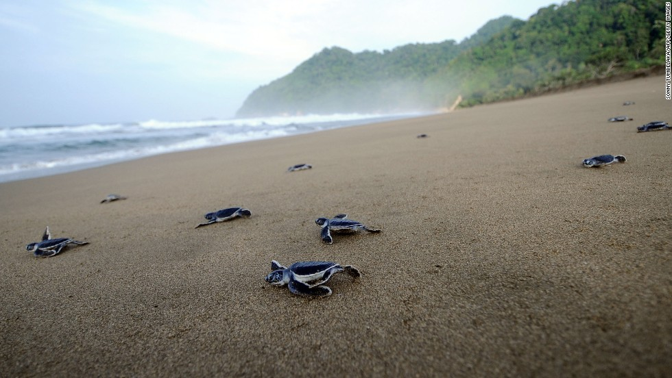 Sea turtles often migrate hundreds (sometimes thousands) of miles between their breeding and feeding grounds. Freshly hatched baby turtles will head to the sea to find cover from predators and a ready food source. Green sea turtles in Indonesia (pictured) face an added danger from poachers, who can turn a high profit by trading turtle eggs.