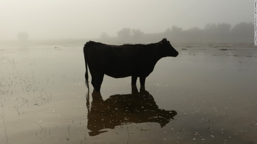 A cow stands in floodwater near Kersey, Colorado, on September 17.