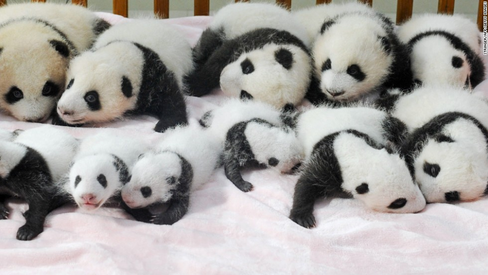 The collective noun for pandas is a sleuth, but perhaps a 'cuddle of pandas' is more apt. Fourteen artificially-bred baby pandas got camera shutters shuttering this week during a press conference in the Chengdu Giant Panda Breeding and Research Base in Sichuan province in southwest China.
