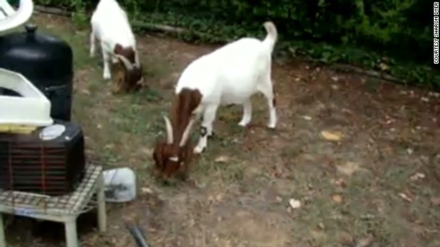 goats in the yard Berman Newday _00002617.jpg
