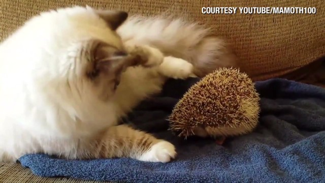 orig distraction cat versus hedgehog_00001021.jpg