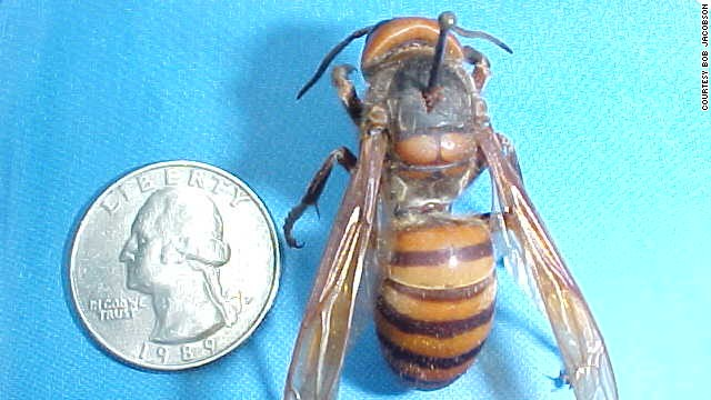 Entomologist Bob Jacobson took this photo of a queen Vespa mandarinia that is native to China.