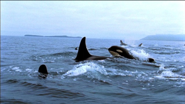 History of killer whale capture