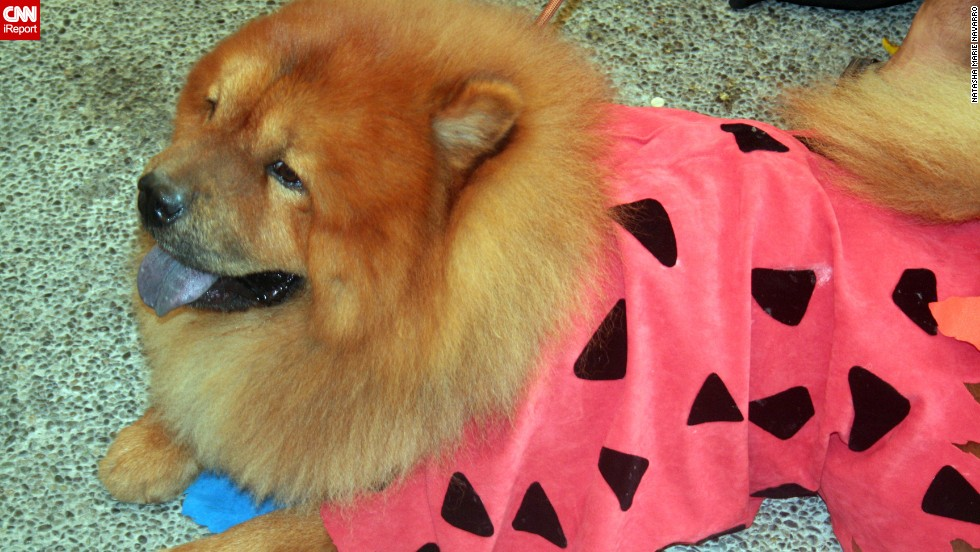 "Yabba-Dabba -- dog? This adorable chow chow, photographed by iReporter Natasha Marie Navarro, is dressed like <a href=""http://ireport.cnn.com/docs/DOC-870763"">cartoon caveman Fred Flintstone</a>."