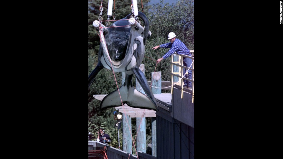 "The 1993 hit movie ""Free Willy"" captured hearts and sparked a massive campaign to free Keiko, the orca that played ""Willy"" in the movie, from the Mexican amusement park where he performed. Here, Keiko is being prepared to be released into the wild in 1998.  In 2002, Keiko spent five weeks journeying across the Atlantic to Norway. He wasn't quite ready to be independent, finding companionship among the Norwegian fishermen and children. He died in December 2003, most likely from pneumonia."
