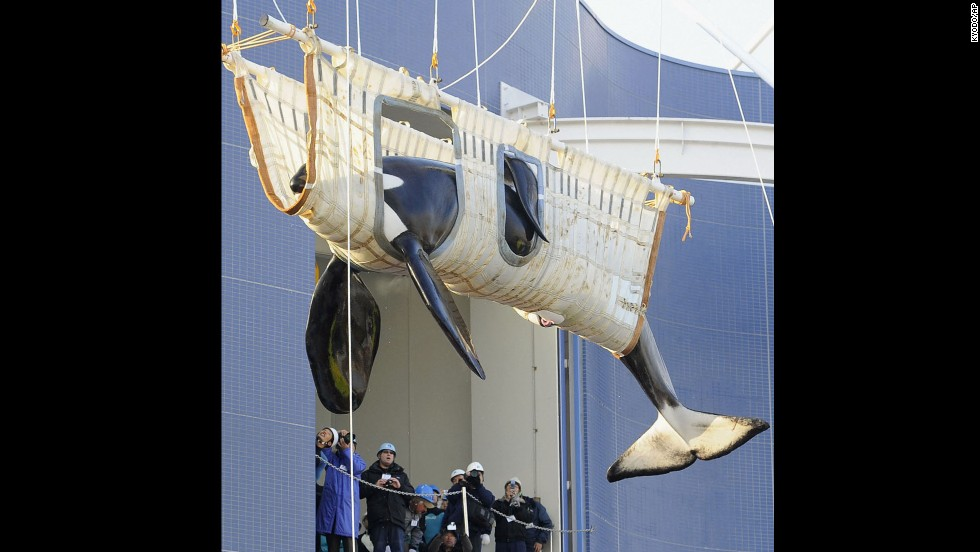A male killer whale, Bingo, is transported to the Nagoya Port Aquarium in Japan in December 2011, after the death of the aquarium's only other orca.  Marine animal activists say the transfers of orcas between marine parks are unhealthy for these mammals because of the stress and trauma.