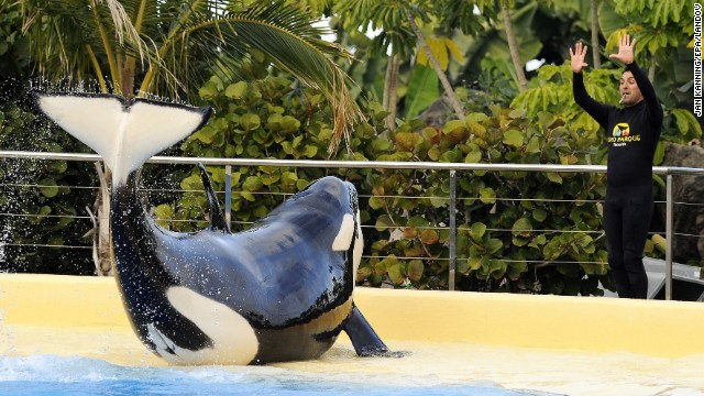 Can killer whales be in captivity safely?