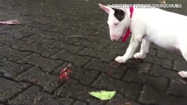 orig distraction bull terrier crab showdown_00001804.jpg