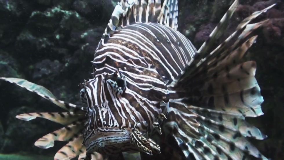Lionfish infestation in Atlantic Ocean a growing epidemic