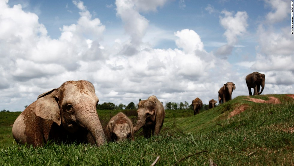 Sumatran elephants on the search for food. They are becoming increasingly endangered due to the destruction of their habitat by logging, palm oil and rubber industries.