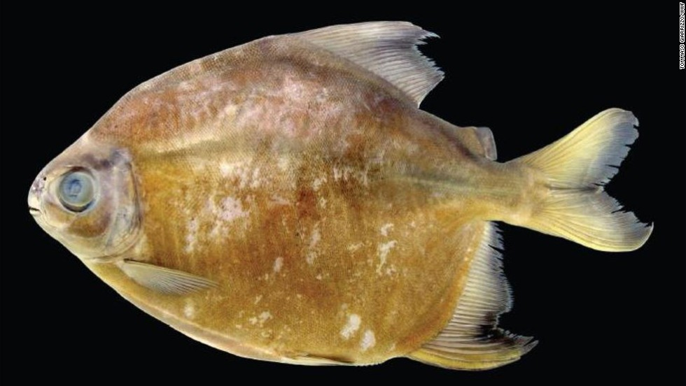 Tometes camunani -- In Brazil's Trombetas River basin, a herbivorous species of piranha was found.