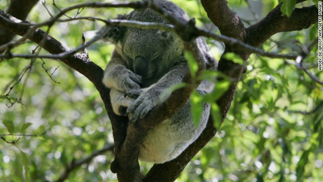 Mundu spent the day sleeping, like this koala in its native Australia, after escaping from his enclosure at the San Diego Zoo.
