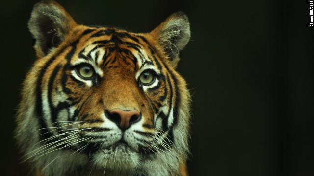 Indonesian police nab 5 poachers of rare Sumatran tigers