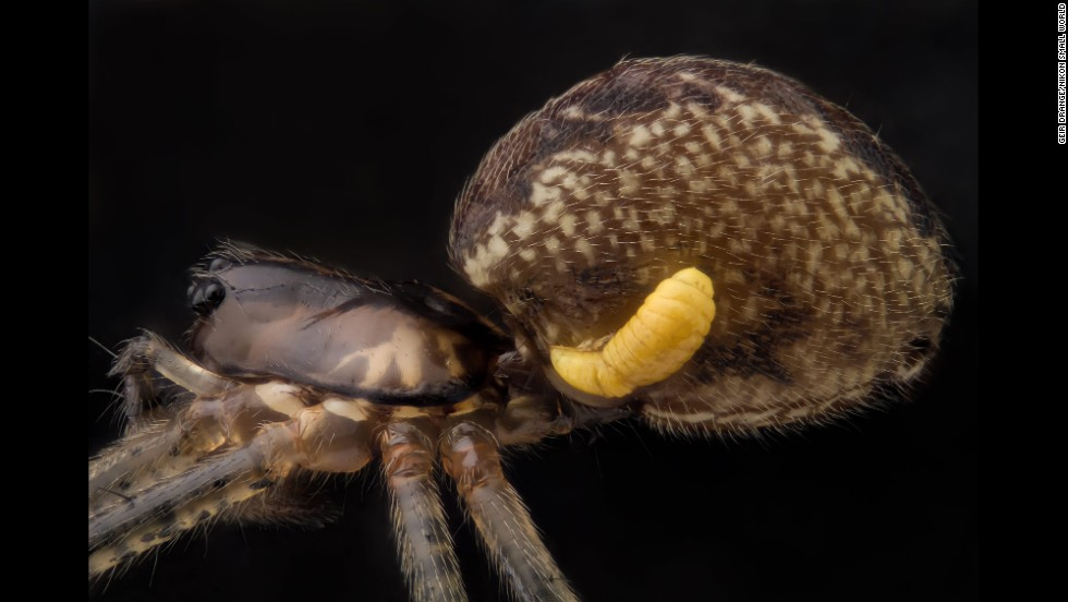 Mr. Geir Drange; Pityohyphantes phrygianus (sheet weaver spider) with a parasitic wasp larva on the abdomen