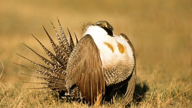 Interior Department to loosen regulations protecting sage grouse