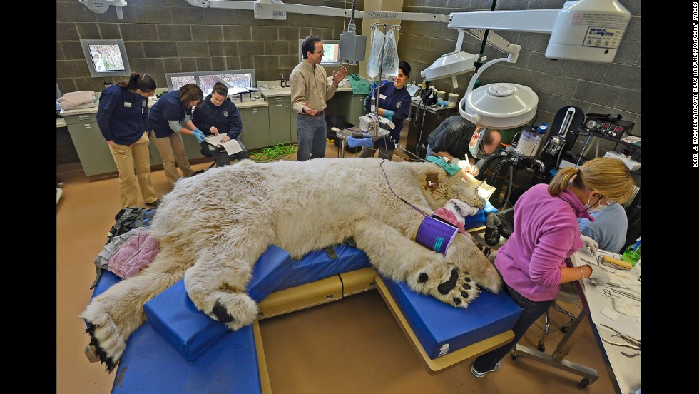 <strong>February 23:</strong> A sleeping giant, Boris the polar bear, undergoes a physical exam at the animal hospital of Point Defiance Zoo & Aquarium in Tacoma, Washington. A team of veterinarians, technicians and staff also performed a root canal and some minor eye surgery on the 27-year-old bear.