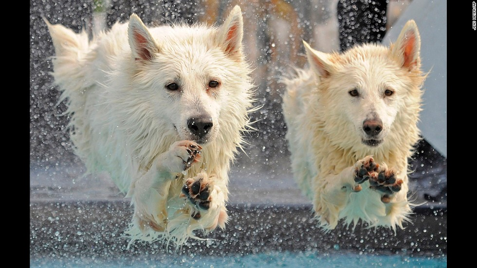 White Swiss shepherd dogs Kenai and Yasu compete in the dog diving competition at the International Pedigree Dog and Purebred Cat Exhibition in Erfurt, Germany on June 16.
