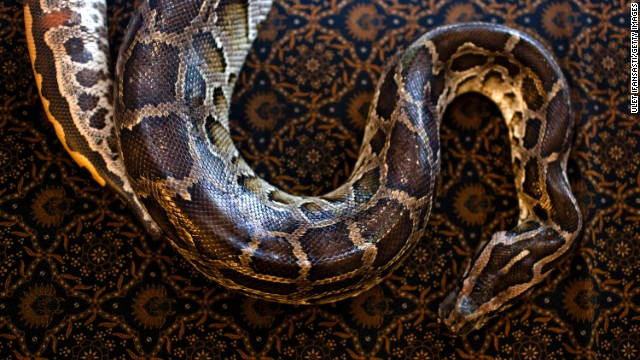 Trainer: Pythons grip until heart stops