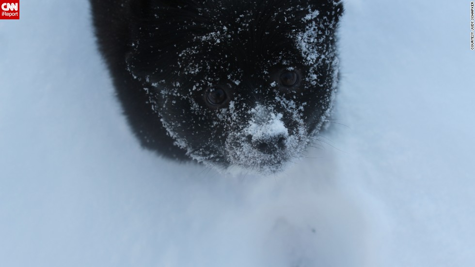 "<a href=""http://ireport.cnn.com/docs/DOC-1072603"">Judy Schapker's</a> pomeranian Jet can't stop sticking his face in the snow.  ""If we throw a handfull of snow into the air, he loves to jump up and try to catch it as it falls,"" the Cincinnati resident said."