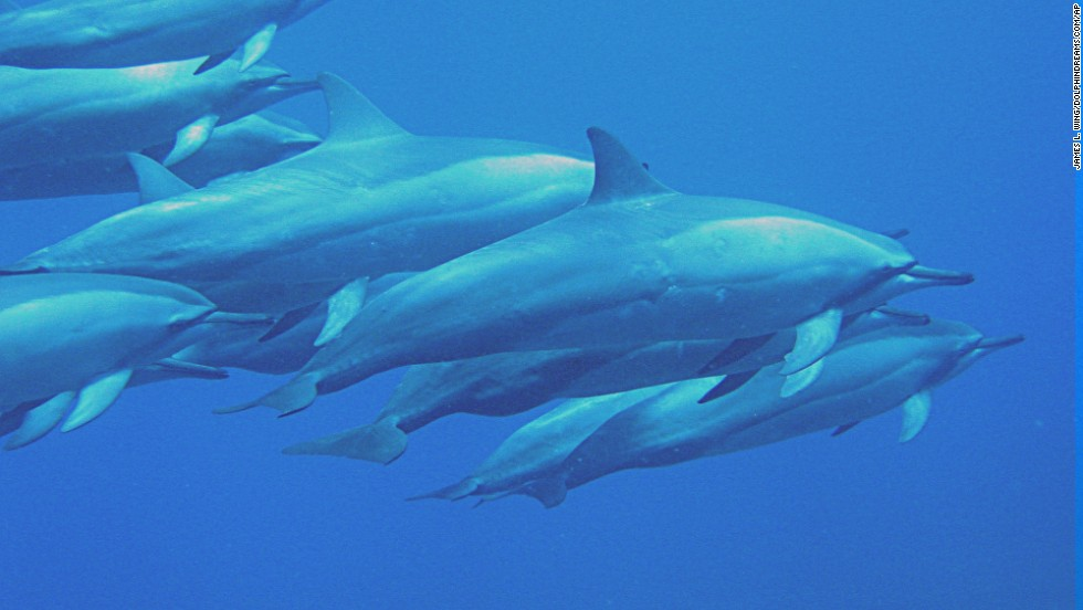 Spinner dolphins.