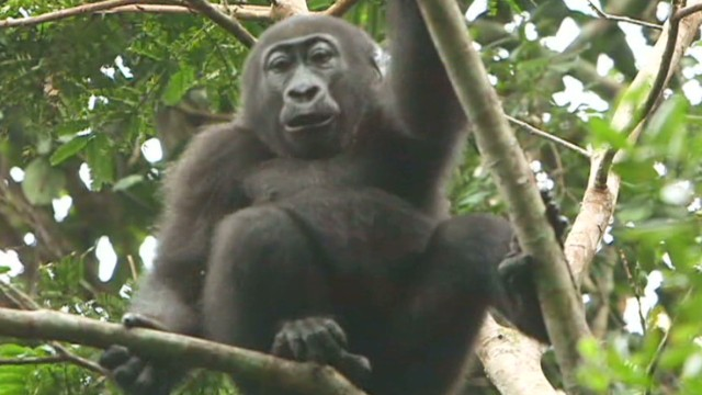 The fight against gorilla poaching