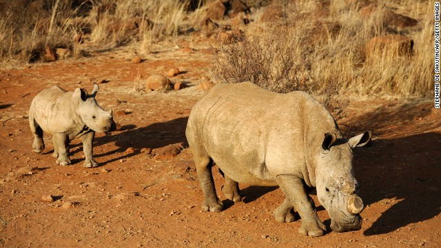 A black dehorned rhinoceros is followed by a calf in South Africa in 2012.