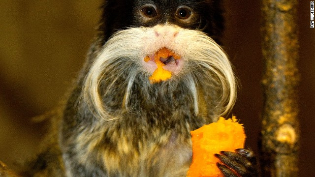 Uk S Paignton Zoo Bans Monkeys From Eating Bananas For