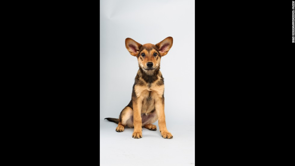 <strong>Name:</strong> Cici.  <strong>Age:</strong> 13 weeks.  <strong>Breed: </strong>German shepherd mix.