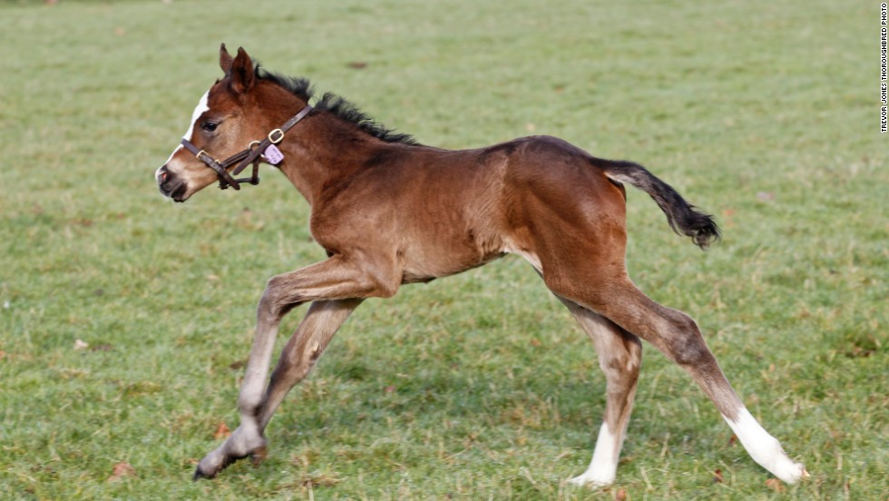 The first filly of legendary racehorse Frankel runs around his new surroundings in Newmarket, England, just days after his birth.