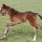 frankel foal being born