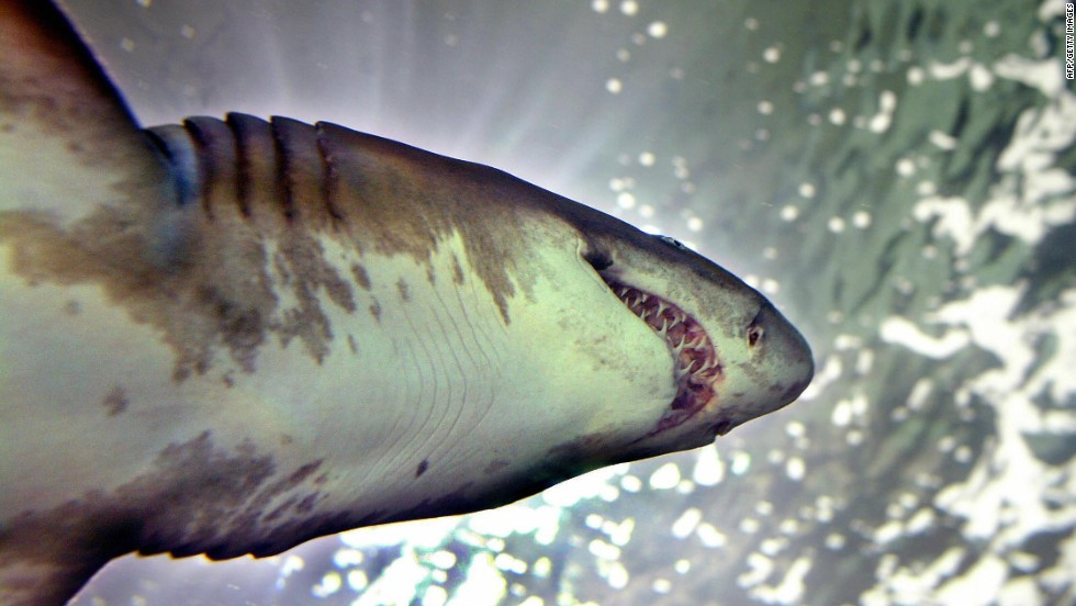 Australia: More than 170 sharks caught under controversial cull program