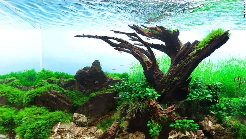 The title says it all. Polish aquascaper Pawel Iglewski designed this tank around an old tree, using plants like flame moss, Java moss and Riccardia chamedryfolia.
