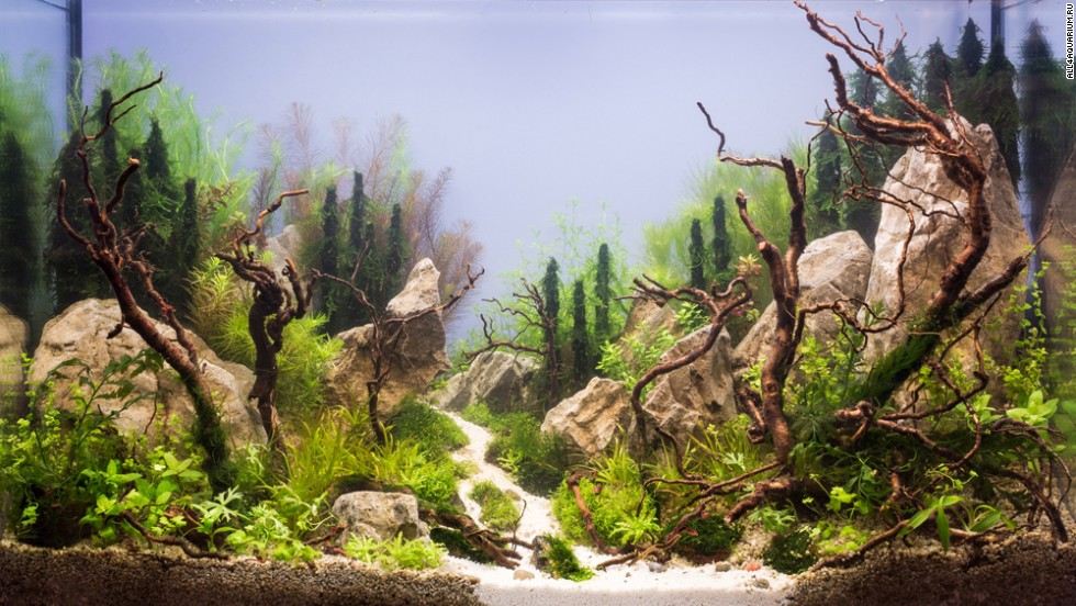 "This Russian aquarium features several large rocks. Karen Randall, a board member at the <a href=""http://www.aquatic-gardeners.org/"" target=""_blank"">AGA</a>, says it is important for aquascapers to think of ""hardscapes"" around which to build their designs. ""In the terrestrial garden, the gardener usually has to think more about the natural terrain he or she has to work with,"" she says. ""The only thing we start with is 4 glass walls."""