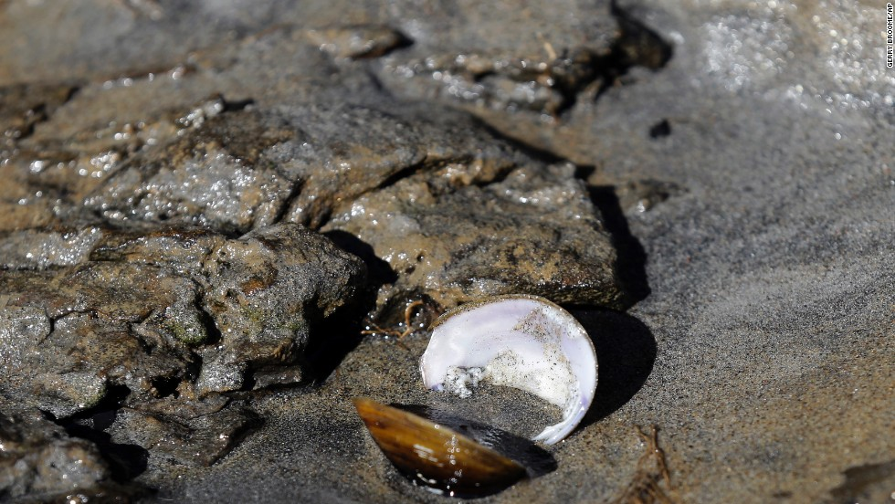 A fresh-water mussel lies on the bank of the Dan River on February 5.