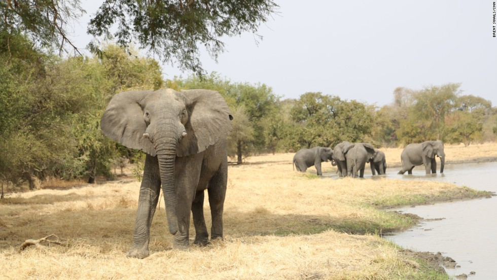 Zakouma's elephant population has been decimated by poaching. In 2002, there were more than 4,000 elephants in the park, today there are just 450.