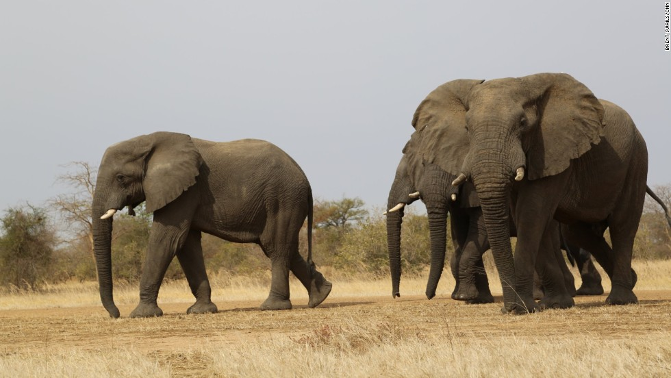 Park director Rian Labuschagne says for the first time in years, Zakouma National Park's largest herd stayed inside the park instead of migrating beyond its boundaries. A potential sign the herd has adapted to poaching threats outside the park.