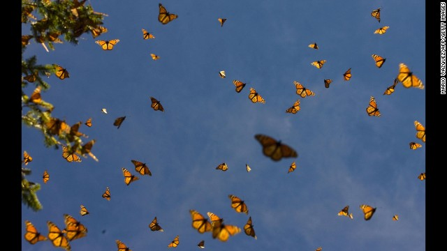 Monarch butterflies (Danaus plexippus) fly around a ranger on December 10, 2008 at the Sierra del Chincua sancturay in Angangueo, in the Mexican state of Michoacan. Millions of monarch butterflies arrive each year to breed at the Oyamel forest in Angangueo, after travelling more than 4,500 kilometres from the United States and Canada.
