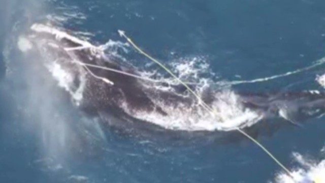 Biologists fight to save tangled whale