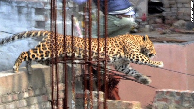 Loose leopard causes panic in India