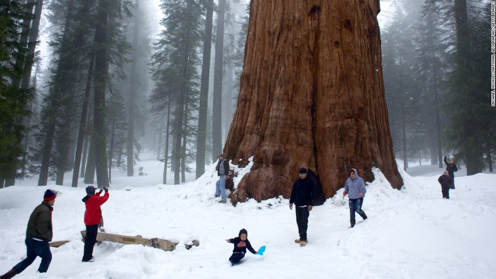 <strong>Largest living tree: </strong>General Sherman, Sequoia National Park, California. The sequoia is the world's largest living tree measured by the volume of its enormous trunk.