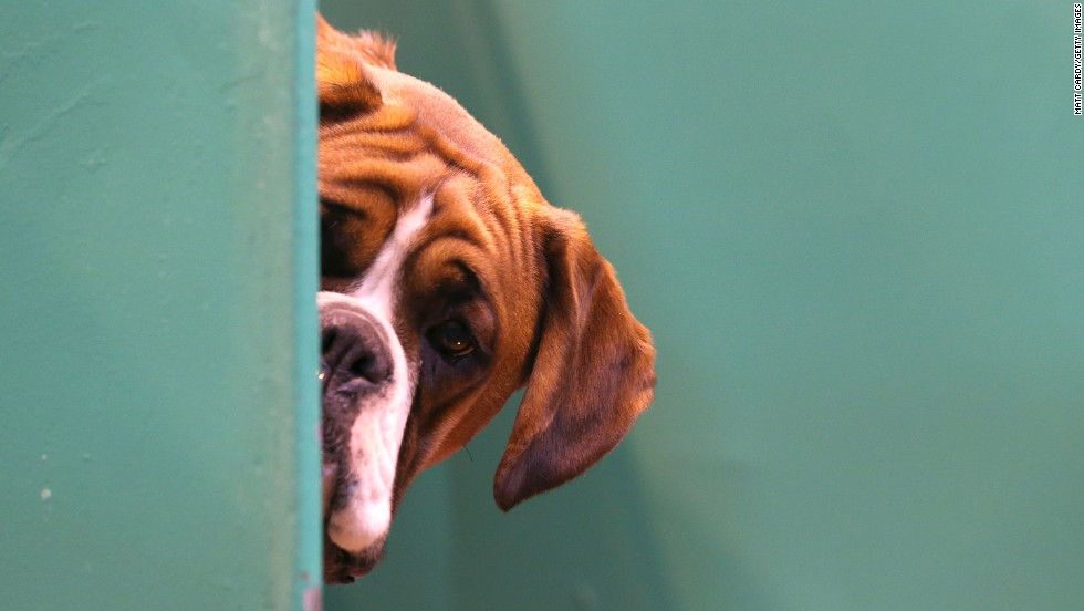 A boxer looks out from its kennel on March 6.