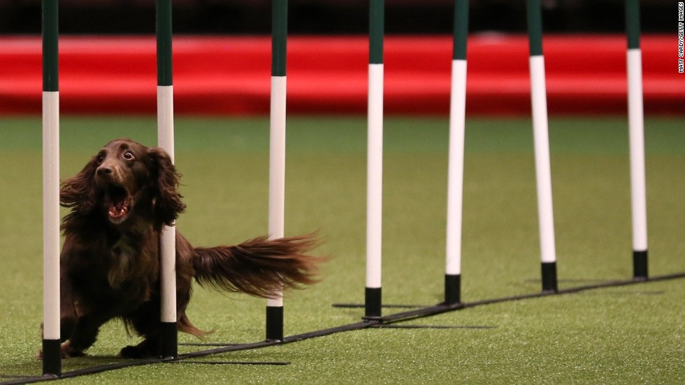 A dog competes in an agility competition during day two of the Crufts dog show on Friday, March 7.