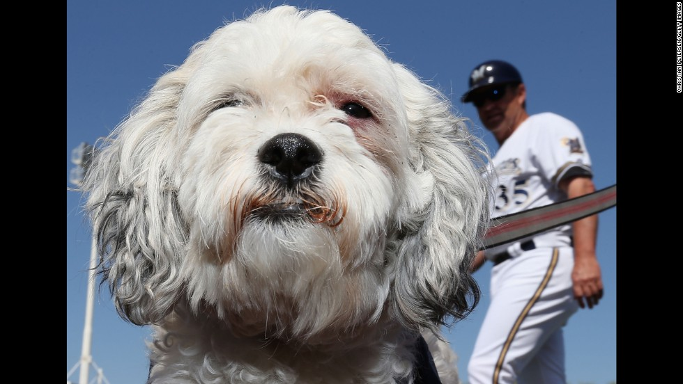 Hank the dog sits on the field Friday, March 7, before a spring training baseball game between the Milwaukee Brewers and the San Diego Padres. The Brewers took in the stray after he wandered into their training camp in Phoenix.