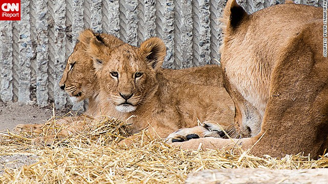 Zoo kills lions to make way for new male