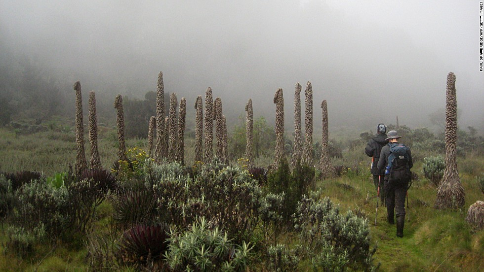 "The Ruwenzori range, known as the ""Mountains of the Moon,"" straddle the border of Uganda and DR Congo. They are home to many rare plant species."